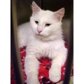 Cats petadoption whitecats