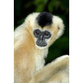 animal mammal nature white gibbon monkey ape simian primate wildlife