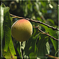 peach tree nature fruit