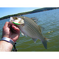 fishing whitebass lure summer