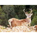 Deer Stag Animals Wildlife Scotland