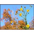 coreopsis fall flowers leaves
