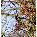 Great tit bird nature