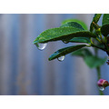 lime tree water drops perth littleollie