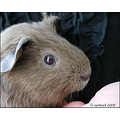 zippi guineapig cavy friend