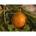 fall harvest growing pumpkin