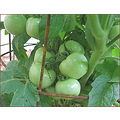 The tomato crop is coming along nicely.  This variety is named Totem.  It grows about 24inches ta...