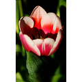nature flower tulip pink white green closeup