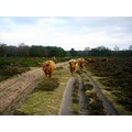 netherlands bussum cattle pathfriday nethx bussx heatn animx cattx