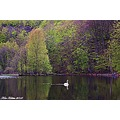 Forestpond Swan Soderasen Nationalpark Skane Sweden Maj 2010