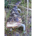 bobtail lizard reptile animal nature smiling missing in action ouchy pain