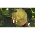 Quinces !!!!