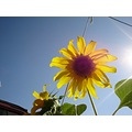 Sun Flower in our grape garden