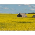 Canola Fields of Central Alberta Canada