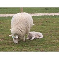 mammy n baby sheep