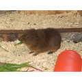animals pets guineapigs guineapig