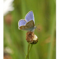 common blue butterfly crownhill fort plymouth