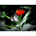 butterfly redflower mellie