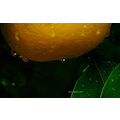 orange tree water drops mercury garden perth littleollie