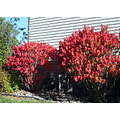 Red hot bushes