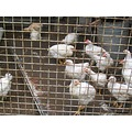 janos chickens for sale