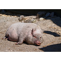 pig wildlife sleep animal