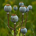 parens plants nature poppy