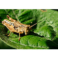 grasshopper insect leave garden move contemplate perth littleollie