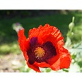 vacation africa stellenbosch poppies