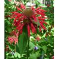 red flower garden maine new england eas coast USA America summer