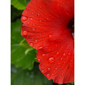 hibiscus red flower colgdrew