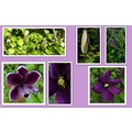 flowers clematis