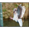 bird pigeon flight nature action