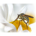 Fly and Pollen