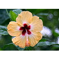 flower hibiscus lucknow india