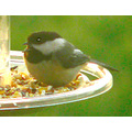 bird black capped chickadee roost bird feeder birding
