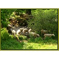 wetfriday sheeps animals nature field summer France country stream river