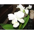 white green flowers orchids