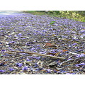 jacaranda carpet horsley hills nature flower