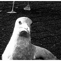 black white gull processed