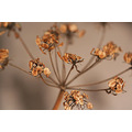 Cow parsley dried seed head nature