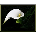 Calla Lilly flower My Garden
