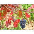 nature grape fruit autumn