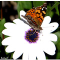 butterfly insect mariposa nature chile