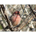 Purple Finch Waiting his turn at the feeder on a bitter cold morning.