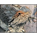 australia wildlife bearded dragon