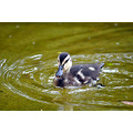 duckling bird nature park water Bilbao Spain