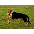 Ruben dog canine german shepherd GSD alsation doberman cross mixed animal pet