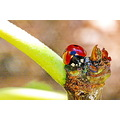 ladybird fig twig macro