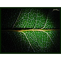 Macro texture leaf green Archer